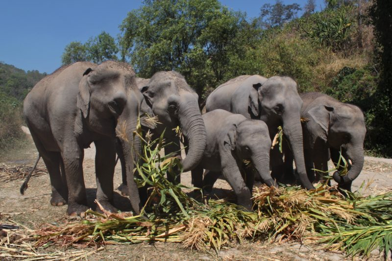 Elephant Sanctuaries In Thailand - Pros And Cons